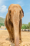 Vertical portrait of an elephant in a zoo Royalty Free Stock Images