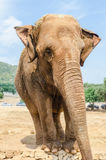 Vertical portrait of an elephant in a zoo Stock Photography