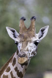 Vertical Portrait Face and Neck of a Rothschild's giraffe Royalty Free Stock Photography