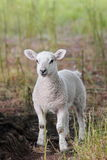 Vertical portrait of Incredibly Cute spring lamb i Stock Images