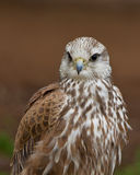 Vertical portrait of a juvenile falcon. Detailed portrait showing the face and head of a falcon, with focus on the eyes royalty free stock image