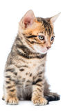 Vertical portrait of a purebred Bengal kitten Stock Image