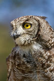 Vertical portrait of a Spotted Eagle Owl. Detailed portrait showing the face and head of a Spotted Eagle Owl in Africa, with focus on the eyes royalty free stock images