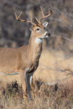 Vertical portrait of young buck Royalty Free Stock Photography