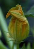 Vertical próximo acima da flor da polpa Imagem de Stock