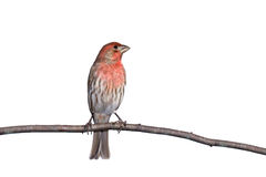 Vertical profile of perched house finch. Vertical profile of house finch perched on a branch, white background stock photo