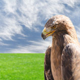 Vertical profile portrait of golden eagle over sky and grass Stock Photo