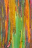 Vertical rainbow eucalyptus tree bark Royalty Free Stock Photography