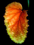 Vertical red green begonia on a black background stock image