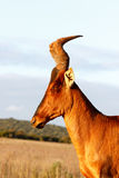 Vertical Red Harte-beest - Alcelaphus buselaphus caama. Alcelaphus buselaphus caama - The red hartebeest is a species of even-toed ungulate in the family Bovidae royalty free stock photography