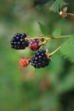 Vertical Ripe Blackberries on Vine Stock Image