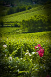 Vertical of Roses & Vineyards, Piedmont, Italy. Vertical view of roses and vineyards in the Asti wine region of the Piedmont in Italy with a vignette Stock Photos