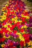 Vertical Row of Tulips Royalty Free Stock Image