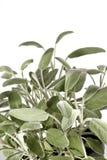 Vertical sabia del arbusto Fotografía de archivo libre de regalías
