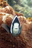 Vertical selective closeup shot of a black and white fish among coral reefs