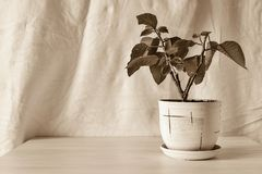Vertical sepia photo houseplant. Vertical sepia photo of a flower bush of a houseplant in a ceramic pot on an empty and pure crumpled background Royalty Free Stock Photo