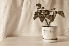 Vertical sepia photo houseplant Royalty Free Stock Photo
