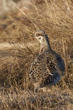 Vertical of a Sharp-Tailed Grouse, Tympanuchus phasianellus Stock Photography