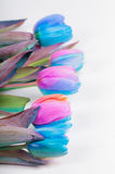 Vertical shoot of multi colored tulips Stock Photo