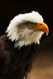 Vertical shot of Bald Eagle. A vertical shot of a Bald Eagle head, with a dark brown and black background Stock Image