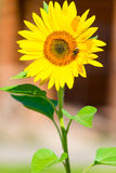 Vertical shot of a bumblebee on a  sunflower Royalty Free Stock Photos
