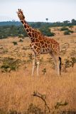 Vertical shot of a giraffe in a jungle captured in Kenya, Nairobi, Samburu