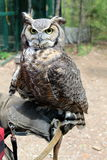 Vertical shot of great Hroned Owl on handler's arm Stock Photography