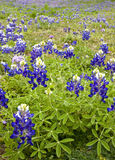 Vertical Shot of Lupinus Texensis (Bluebonnets) Royalty Free Stock Images