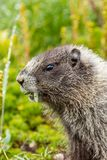 vertical shot of marmot munching on fresh leaves from meadow royalty free stock image