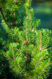 Vertical shot of pine branch with a  cone Royalty Free Stock Photo