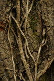 Vertical shot of tree bark. A vertical shot of tree bark with ivy growing up it Royalty Free Stock Photography