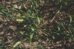 Vertical shot of triticale Royalty Free Stock Photos
