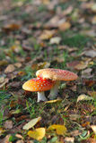 Vertical shot of two red mushrooms Royalty Free Stock Photo