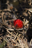 Vertical shot of wild strawberry and ants Royalty Free Stock Photos