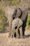 An elephant and her calf showing affection in side light. A vertical, side lit, full length, colour photograph of two elephants, Loxodonta africana, mother and stock photography