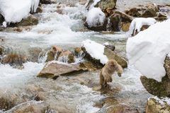 Snow Monkey Leap in River Royalty Free Stock Photo