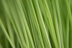 Vertical stems of the green grass Stock Image