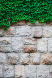 Vertical stone wall overgrown with ivy for background Royalty Free Stock Image