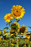 Vertical Sunflower Against Blue Sky in Willamette Valley, Oregon. This is a sunflower with a bee against a blue sky in a field in Oregon`s Willamette Valley west stock image