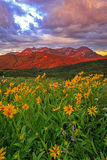 Vertical sunrise with colorful wildflowers, Utah. Sunrise with wildflowers with Mount Timpanogos, Utah, USA Royalty Free Stock Photos