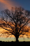 Vertical-Sunrise colors behind an old oak tree. An old oak tree with bare limbs in sunrise stock image