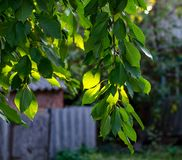 Vertical tree branch illuminated by beams. A branch of sweet cherry with green leaves in the sun in a rustic garden. Photos of village life stock photography