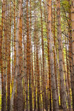Vertical trunks of the pine trees Royalty Free Stock Photos