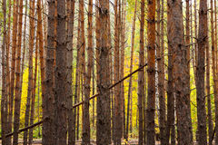 Vertical trunks of the pine trees Royalty Free Stock Image
