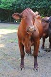 Vertical vermelho da vaca Foto de Stock