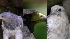 3 in 1. Vertical Video for Social Media Applications on Mobile Devices. Different Eagles and Hawks Portraits