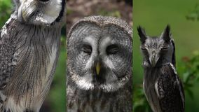 3 in 1. Vertical Video for Social Media Applications on Mobile Devices. Different Owl Portraits