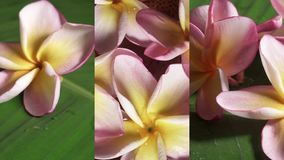 Vertical video for social media applications on mobile devices. Pink frangipani flowers also known as plumeria or. Lilawadee rotating on banana leaf shot with a stock footage