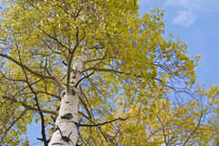 Vertical view of Aspen tree Royalty Free Stock Images