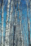 Abstract birch trees with a blue sky Stock Photos